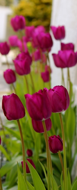 Swaying Tulips.jpg