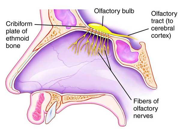 olfactory_nerve-to-brain.jpg