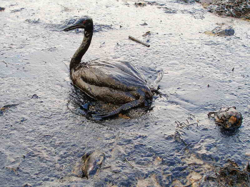 A bird covered in oil from the  Black Sea  oil spill./  Creative Commons Licence