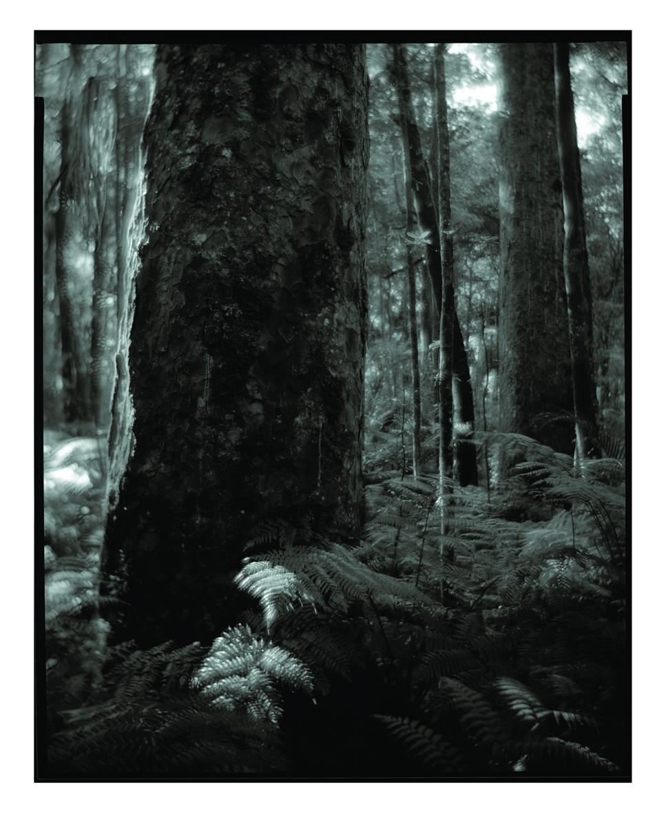 Kauri Project Haruhiko Sameshima.jpg