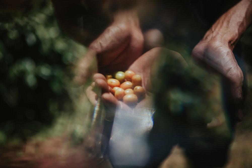 Coffee_beans_Dalat_by_thatsluminous-3730.jpg