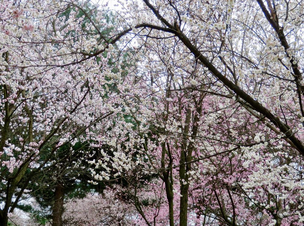 blossoms4.jpg