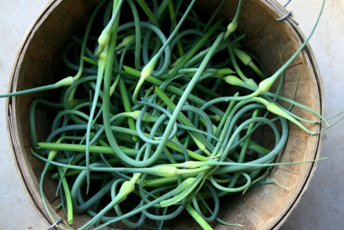garlic_scapes.jpg