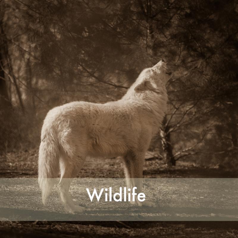 wolf001 copy.jpg