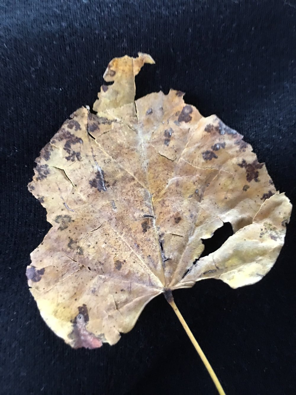 Cottonwood leaf after flight