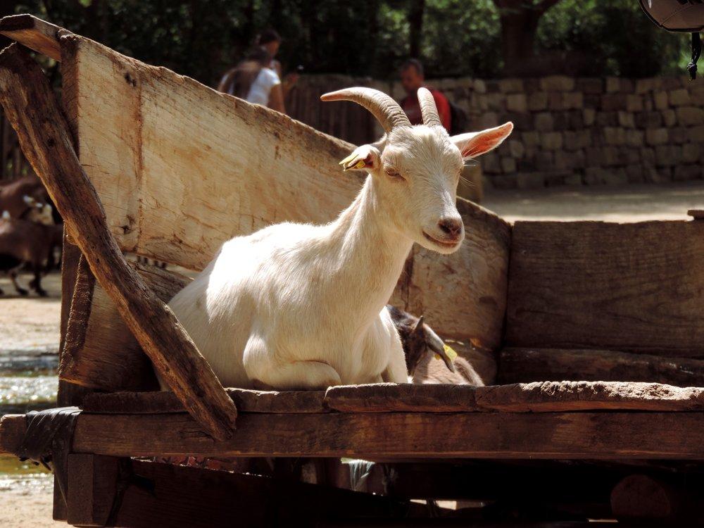 goat-2905055_1920-1.jpg