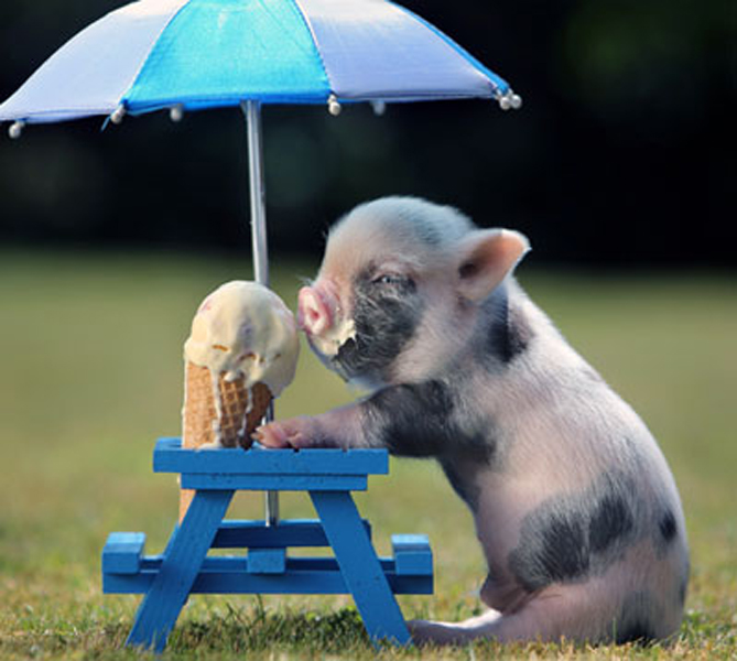 We didn't believe it either - a piglet eating ice cream!  - Cristine, Boston