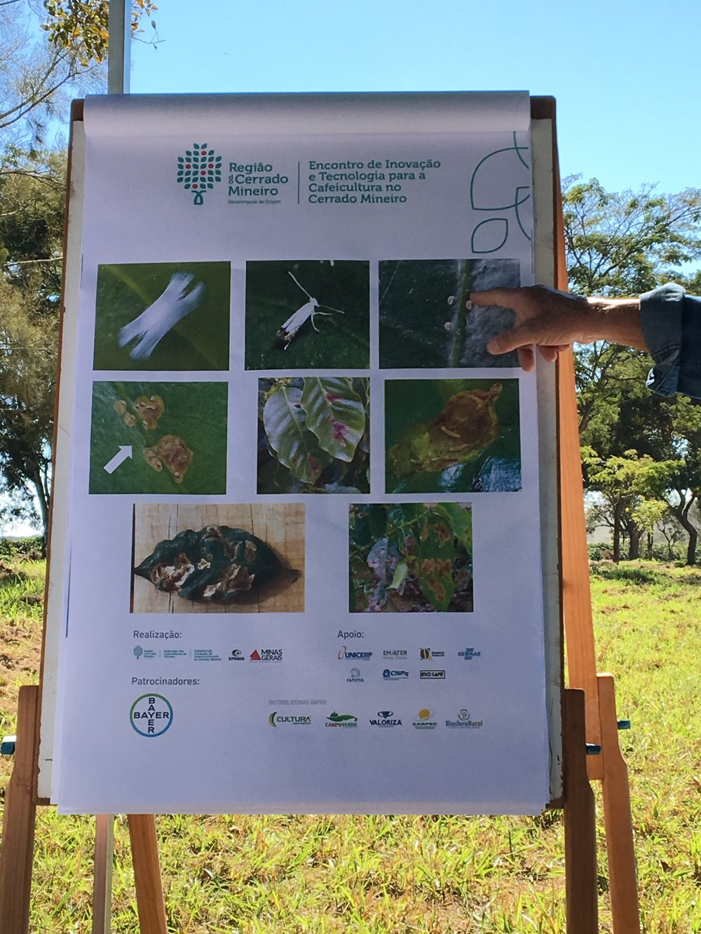 Phases of coffee leaf miner