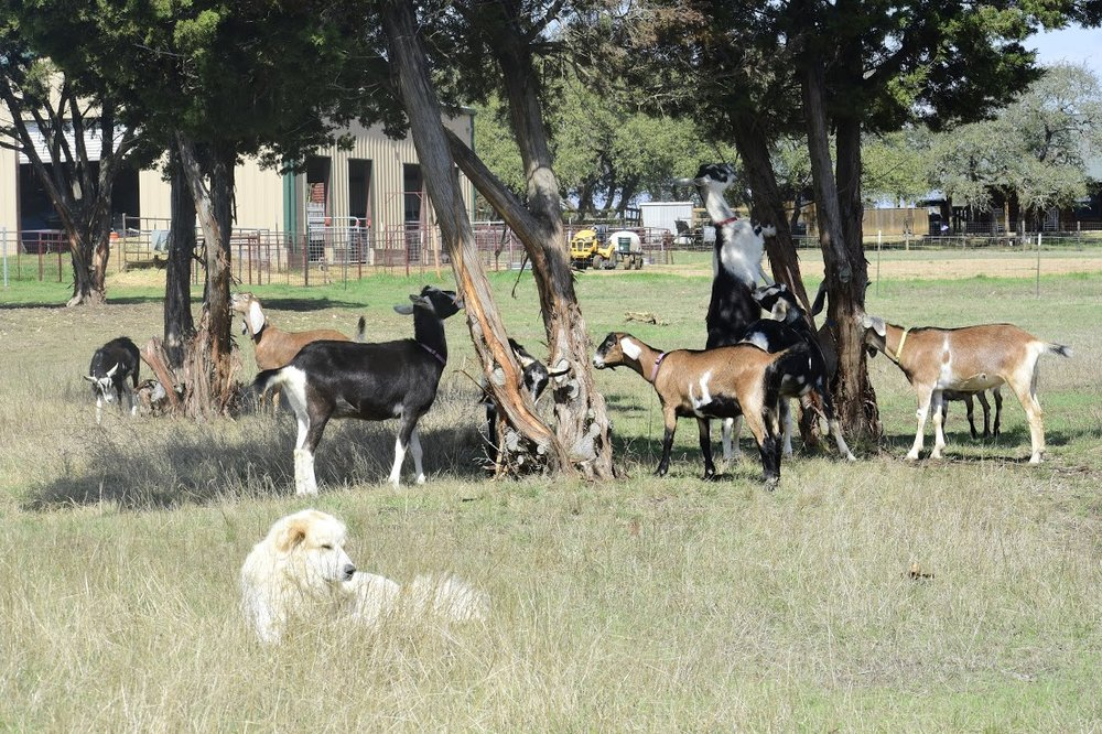 dog goats.JPG