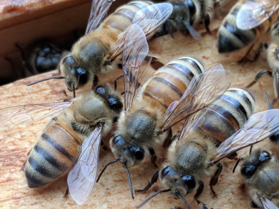 Bees_HillsOfMilkAndHoney