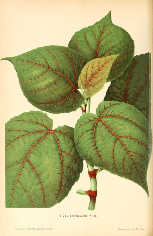 Illustration of Ficus Suringarii. From Neerland's Plantentuin (Groningen: J. Wolters, c. 1866). Image courtesy of University of Illinois Urbana-Champaign and Biodiversity Heritage Library.