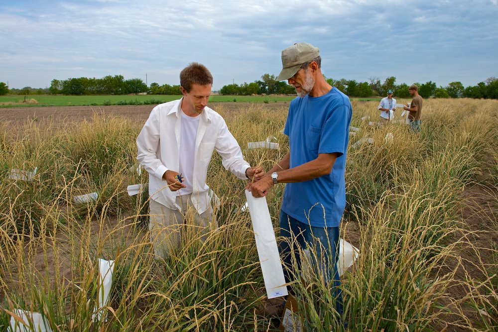 Dr. Lee DeHaan (left) harvesting Kernza.