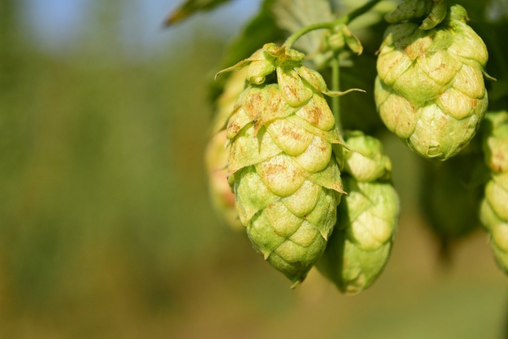 <hops> - New Zealand is one of the premiere hop producing nations in the world. Our beer uses the wide variety of hops grown in New Zealand. Learn more about New Zealand's hops at https://www.nzhops.co.nz/.