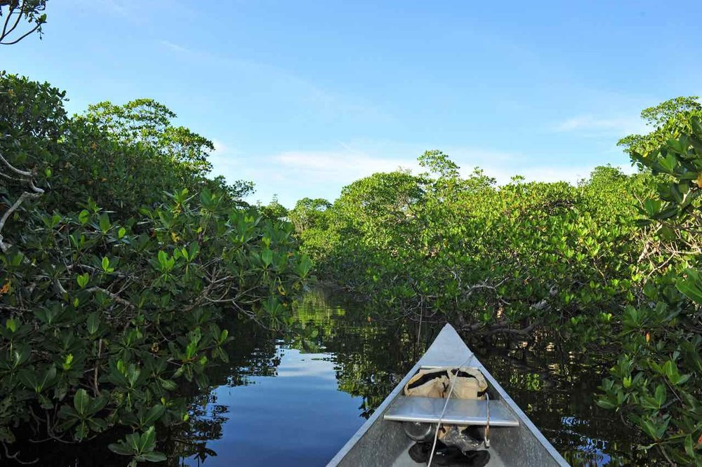 It's the wonder of what might be around the next bend in the mangrove mazes thats exciting. The mangrove passages make up part of the route but there is just as much open water paddling, each comes with it's own offerings and challenges.  This is a young section trying to fill in. Their height changes depending where you are in the everglades.