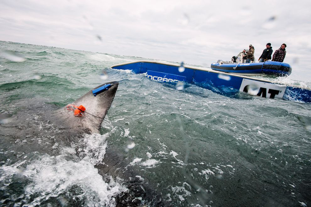 OCEARCH is a scientific research organization heavily focused on the conservation of great white sharks. In 2013, the team was based on the waters of Cape Cod, MA, where they tagged dozens of sharks with satellite tags. Photo: OCEARCH