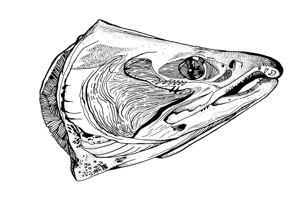 "Salmon Head; pen and ink, 12"" x 10"""