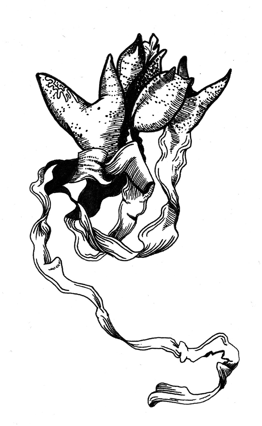 "Bladder Wrack; pen and ink, 5"" x 7"""