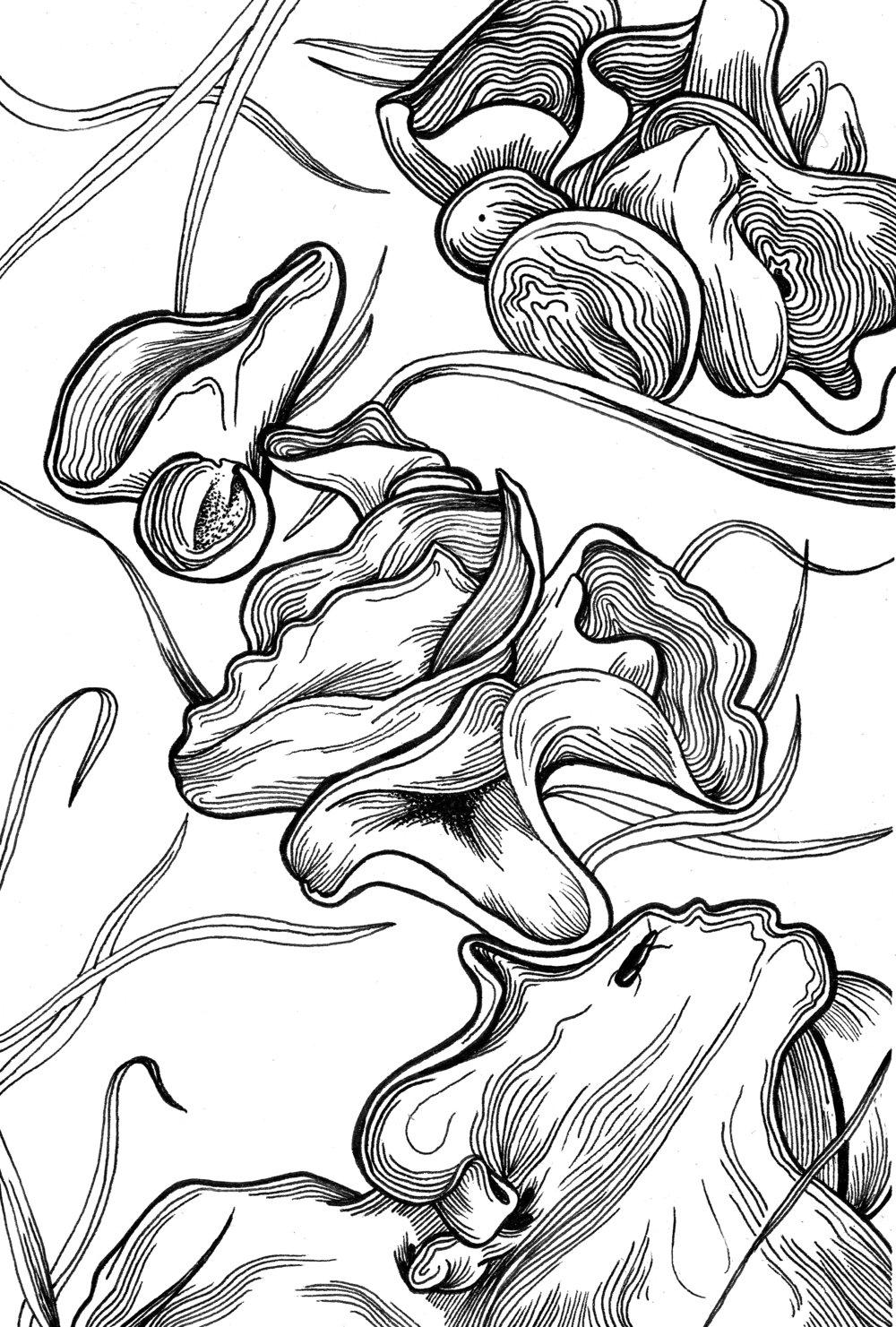 "Orange Peel Fungus; pen and ink, 5"" x 7"""