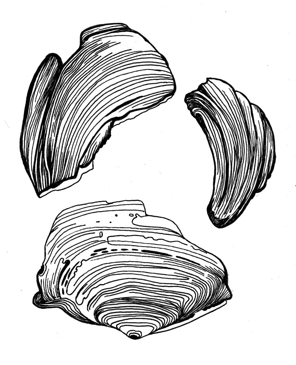 "Shells; pen and ink, 5"" x 7"""