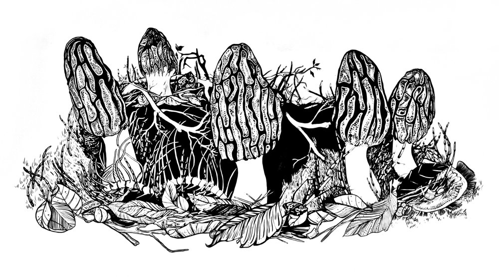 "Morels; pen and ink, 25 ¼"" x 42 ¼"""