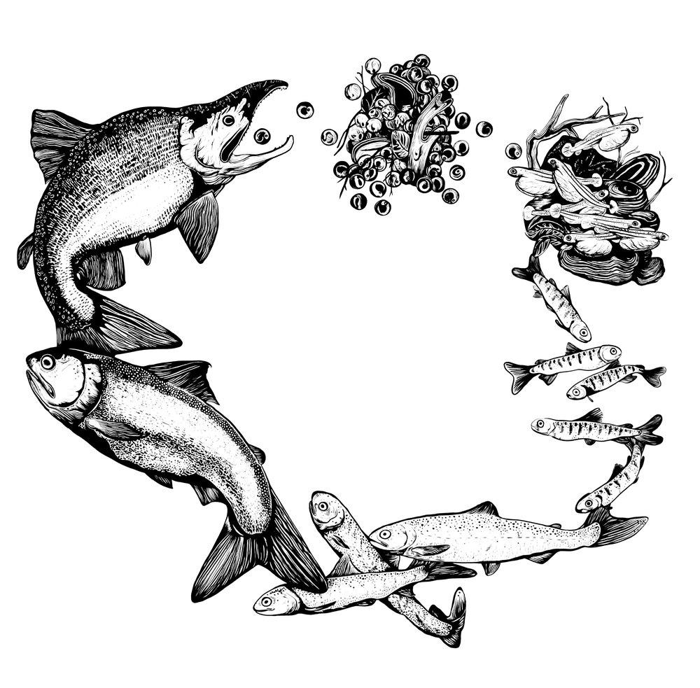 "Salmon Biorhythm; pen and ink, 36 ½"" x 39 ¼"""