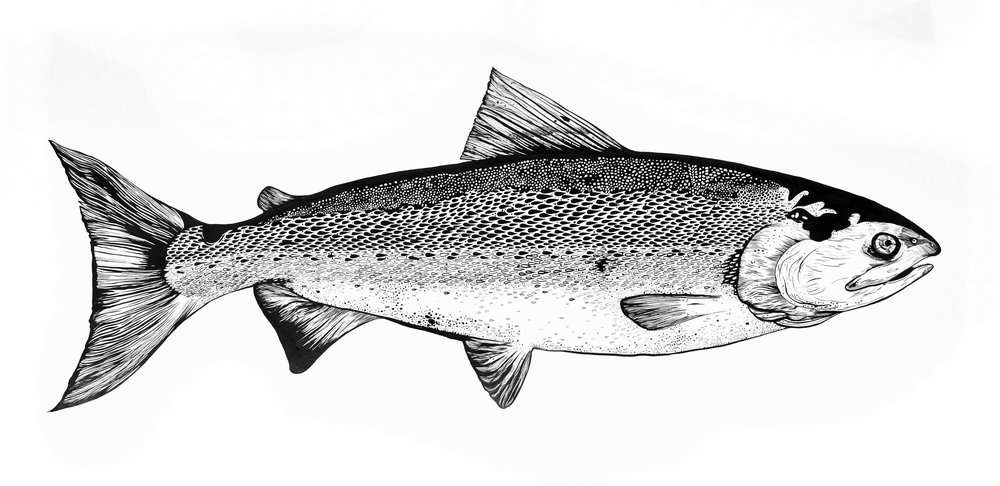 "Salmon; pen and ink, 24 ½"" x 40 ½"""
