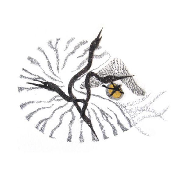 Nautilus pompillium, var. anhingam
