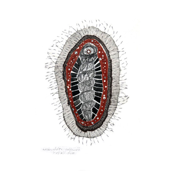 Ischnochiton (ventral view)