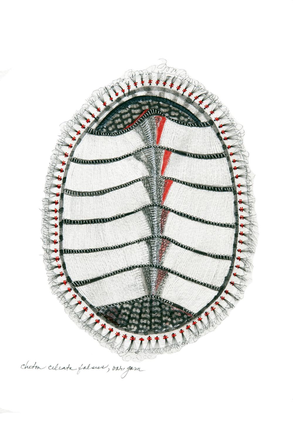 chiton ciliata falsus
