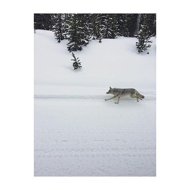 Coyote Sighting
