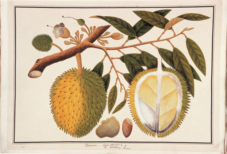 Durian, William Farquhar Collection of Natural History Drawings, 1819-23