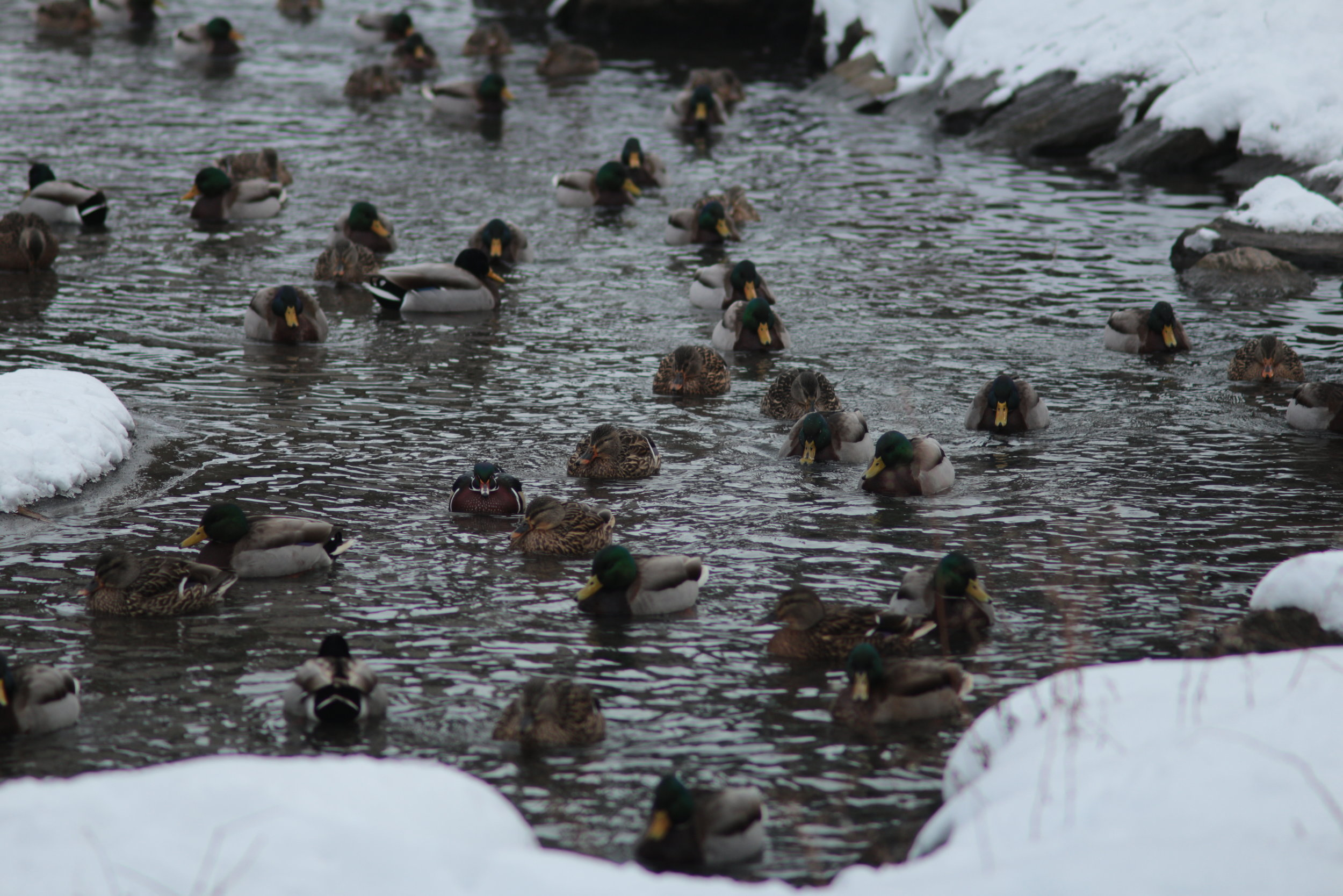 Group of Ducks | Central Park | Canon EOS M, Canon FD 135mm 2.8
