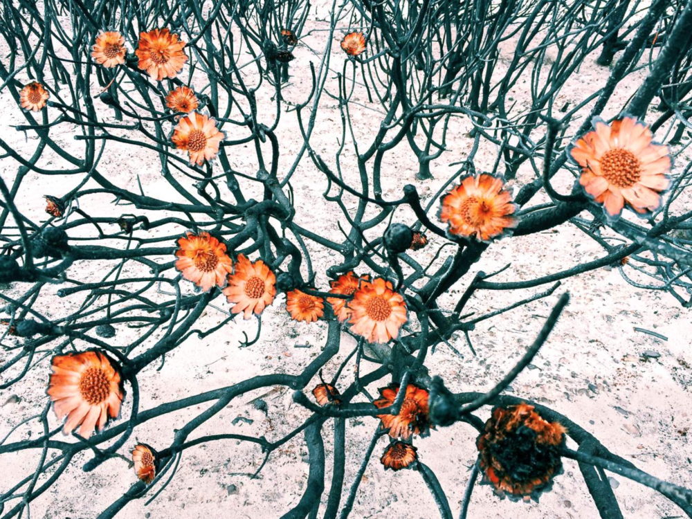 Amy Paterson. Nominated in the Flowers category, iPhone Photography Awards. First place.