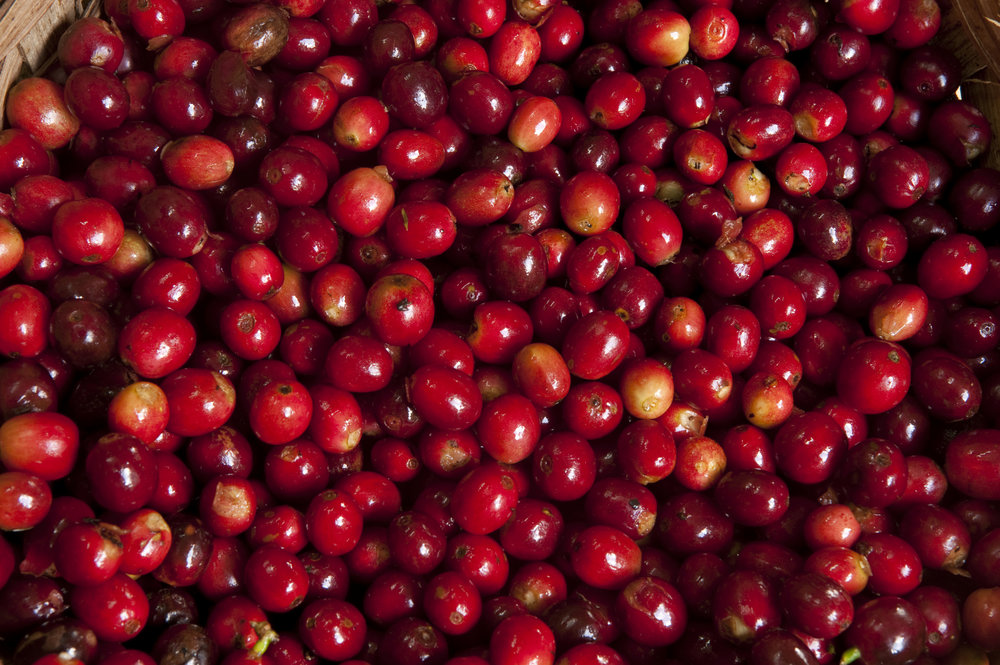 Ripened coffee cherries