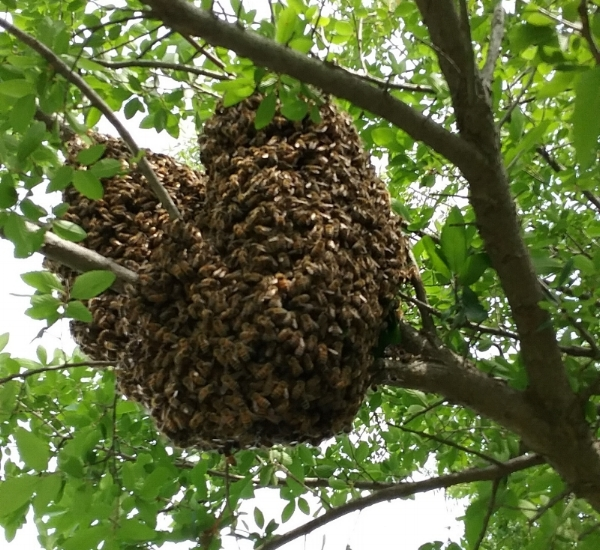 This is not a hive, it is a swarm of bees in a tree!
