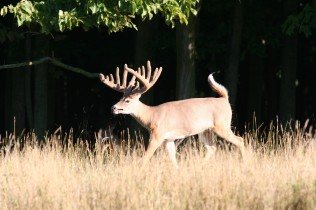 conquest scent huge deer.jpg