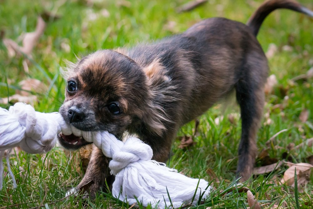 Learn how to motivate and reward your dog with toys!