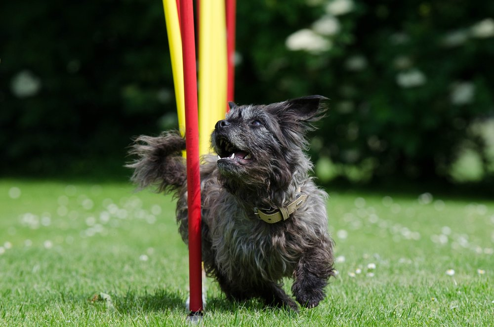 This dog is performing the weave poles, one of the most difficult obstacles to teach - join our class to learn the easiest and quickest way to teach them to your dog!