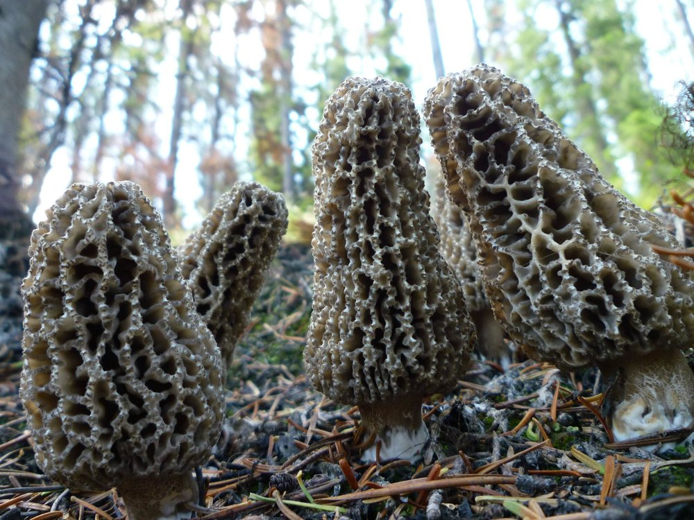 Morchella tomentosa-  Grey morel