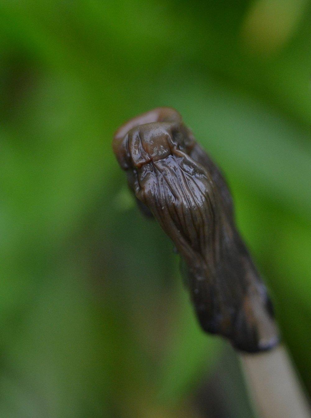 Cap deliquescence of  Coprinellus micaceus