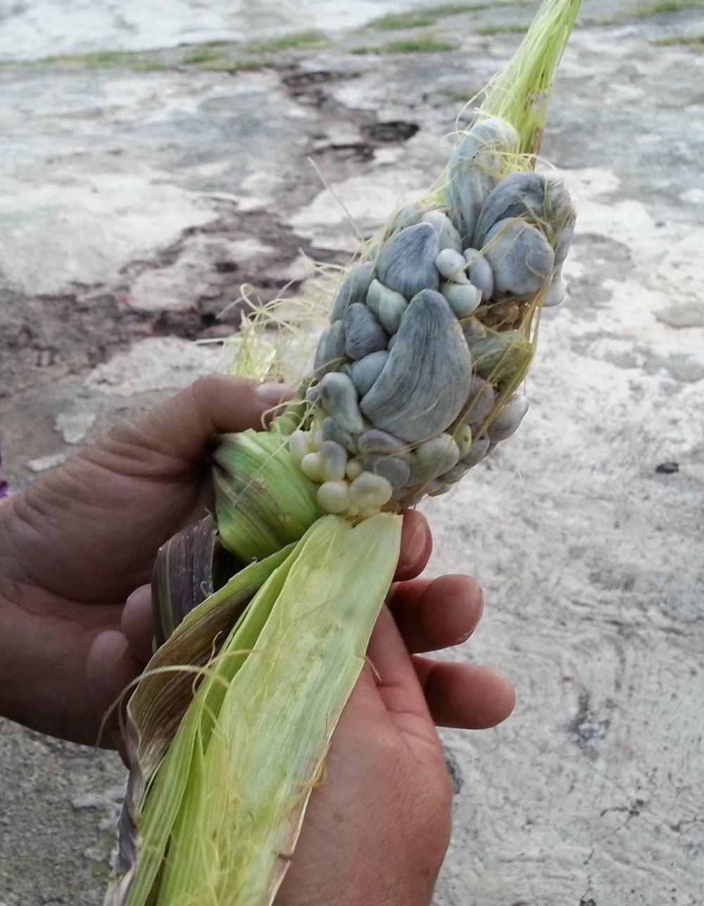 Corn smut ( Ustilago maydis )