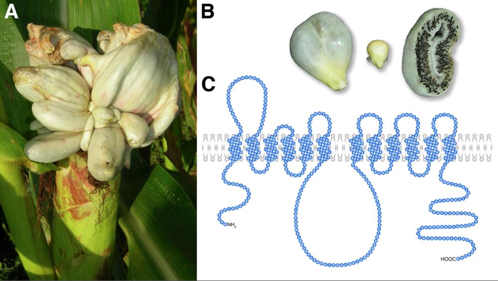 Ustilago maydis and fungal plasma membrane transporter, Srt1