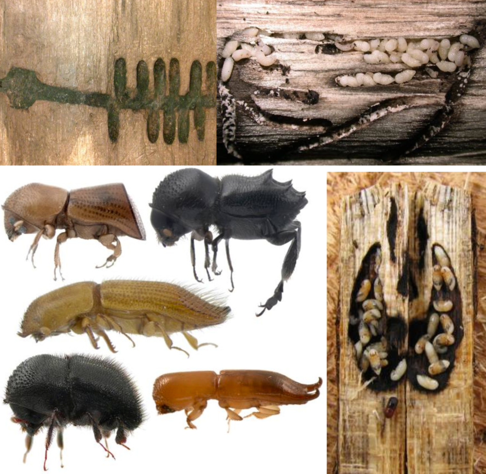 Fungal galleries and ambrosia beetles/larvae. Photo by Jiri Hulcr in this  review