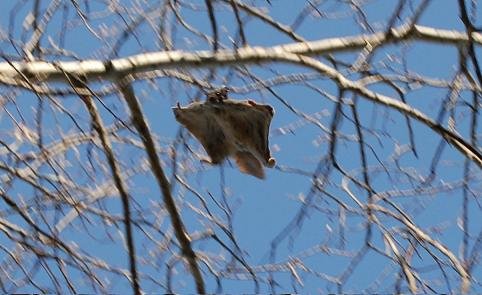 Northern Flying squirrel in the USA