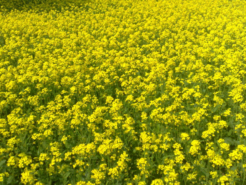 Mustard plants being used as green manure