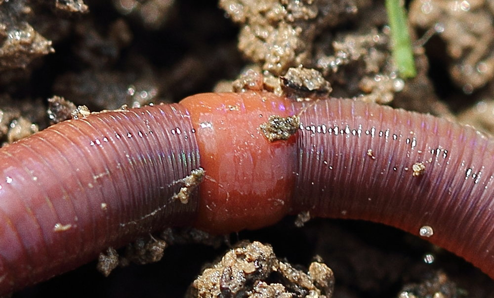 Lumbricus rubellus : an invasive worm that is transforming North American ecosystems