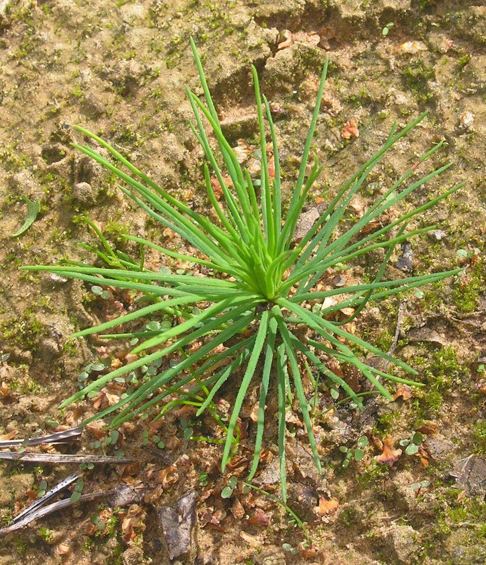 Pinus sylvestris  seedling .