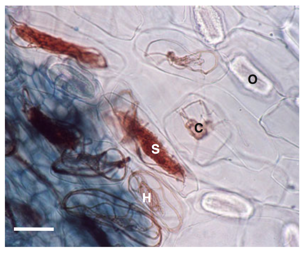 Fungal pelotons (analogous to arbuscules except these structure lay in-between the cell wall and cell membrane). H-healthy peloton, S-slightly degraded peloton, C-collapsed peloton and O-Oxalate crystal. From  Dearnaley et. al. 2012 .
