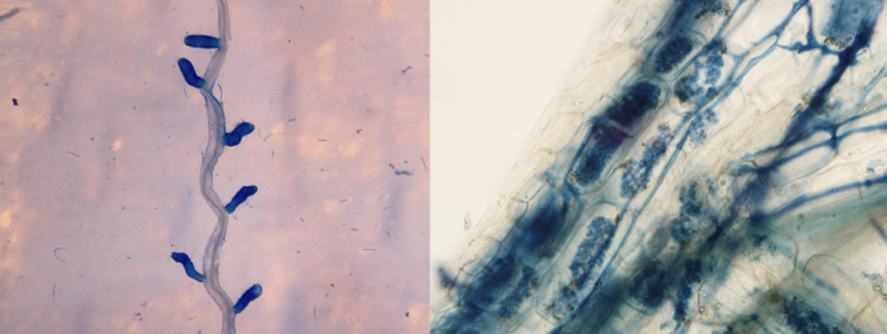 Ectomycorrhizas (left panel) and arbuscular mycorrhizas (right panel).  Albornoz et al. 2016 .