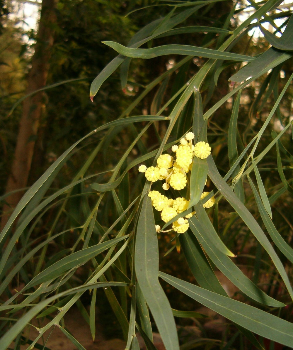 Acacia rostellifera .